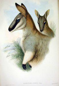 Macropus greyi, 1920, sureste de Australia