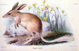 Macrotis leucura, 1931, centro de Australia