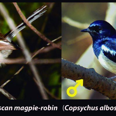 Copsychus albospecularis - Magpie robin - shama malgache