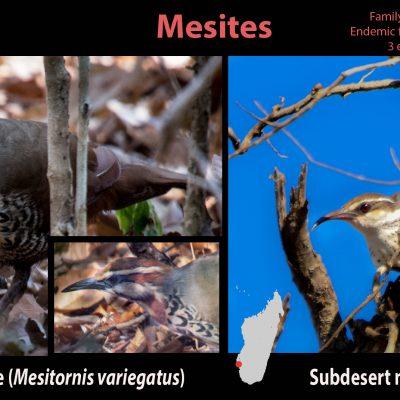 Mesites (Familia Mesitornithidae) Una familia endémica de Madagascar cuyas relaciones taxonómicas siguen siendo inciertas. Constituida solamente por tres especies que pasan su vida correteando por el sotobosque en busca de alimento. Sus hábitos extremadamente crípticos constituyen un reto para el fotógrafo de naturaleza aficionado. A pesar de que en este viaje conseguimos detectar las 3 especies, hubo que sudar como gorrinos para conseguir alguna foto decente. Premio especial para el maldito Brown mesite que sorprendentemente, a pesar de su modesto plumaje, es una de las aves con fotografía más codiciada, y de la cual tristemente no conseguí ni una foto.