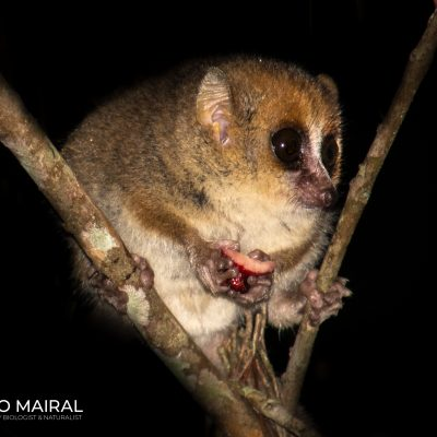Microcebus leylahitsara (Madagascar)