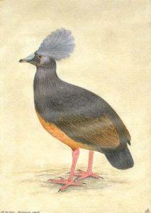 Microgoura meeki, isla Chiseul (Islas Salomón), principios siglo XX