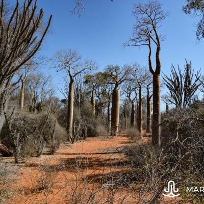 Mini Avenue of Baobabs (Madagascar)