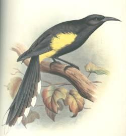 Moho apicalis, 1837
