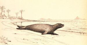 Monachus_tropicalis, foca del Caribe, 1952