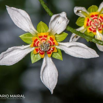 Nasa aequatoriana (Ecuador)