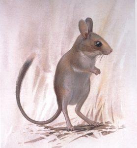 Notomys amplus, 1894, Australia del sur