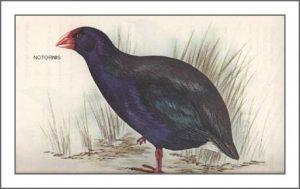 Notornis mantelli, takahe de nueva zelanda