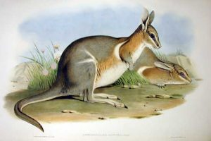 Onychogalea lunata, ualabíes de las matas, 1930, Australia