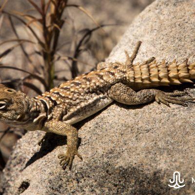 Oplurus (Madagascar)