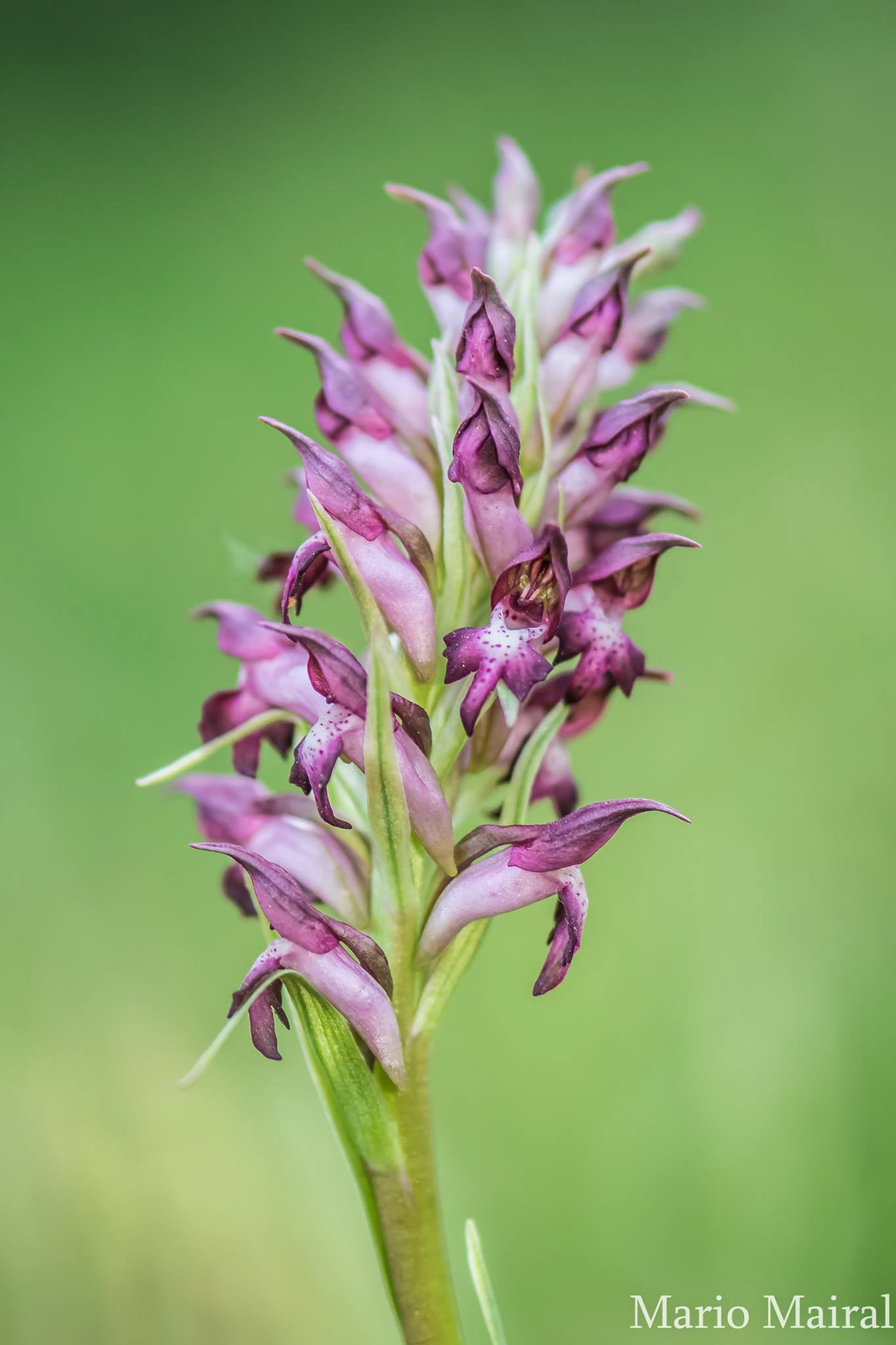 Orchis coriophora (Madrid, Spain)
