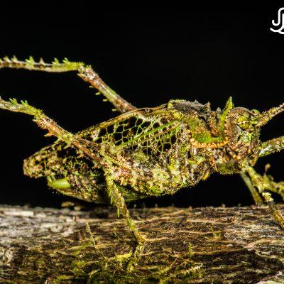 Orthoptera (Bilsa, Ecuador)