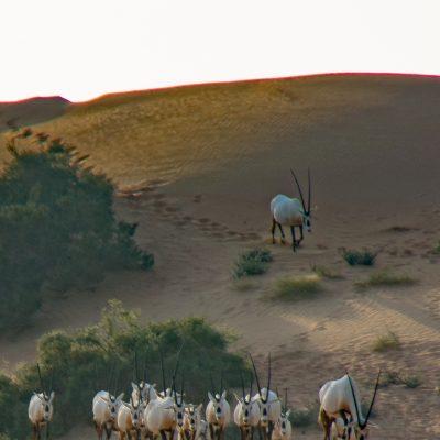 Oryx leucoryx (United Arab Emirates)