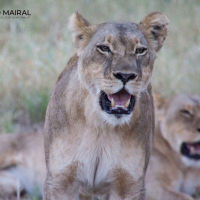 Panthera leo (Botswana)