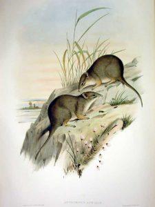 Parantechinus apicalis, ratón marsupial, australia