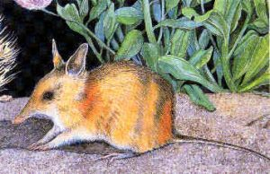 Perameles eremiana, bandicut del desierto, 1931, Australia