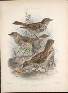 Phaeornis obscura, Hawai, mediados siglo XIX