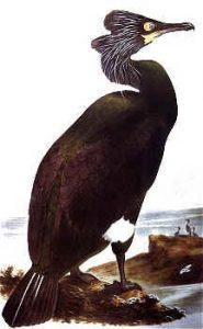 Phalacrocorax perspicillatus, cormorán de Pallas, estrecho de Bering, mediados XIX