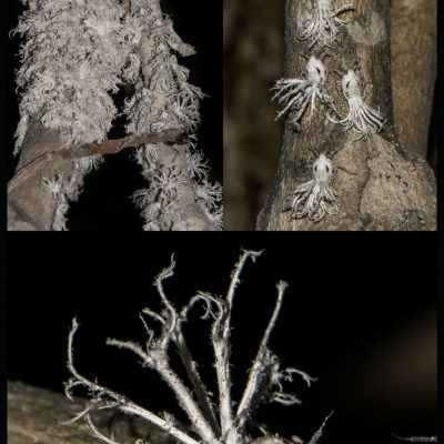 Phromnia rosea -Madagascan flatid bug (Flatidae) Las ninfas de Phromnia rosea son esponjosas, peludas y con apariencia de pavo real despeinado. Desarrollan unos zarcillos blancos como protección frente a las aves, evitando así ser depredadas, no sólo por su apariencia, también por su mal sabor ya que en su mayor parte los zarcillo están compuestos de ceras y sustancias de desecho que segregan por el abdomen. Aún con todo, estas ceras poseen compuestos azucarados que se desprenden como gotas de miel y se van acumuluando en el suelo, donde son usadas como recurso alimenticio por los lémures ratón del género Microcebus, provocando un interesante mutualismo.