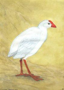 Porphyrio albus