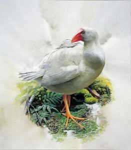 Porphyrio porphyrio albus, isla Lord Howe, 1834