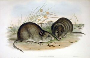 Potorous platyops, 1875, Australia
