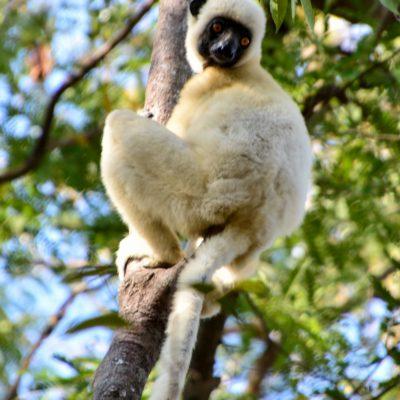 Propithecus deckenii (Madagascar)