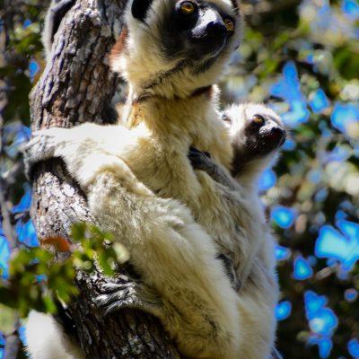Propithecus verreauxi (Madagascar)