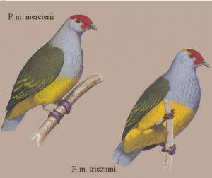 Ptilinopus mercierii, paloma de las Marquesas
