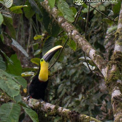 Ramphastos brevis (Ecuador)