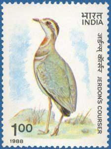 Rhinoptilus bitorquatus, corredor de Jerdon, 1930