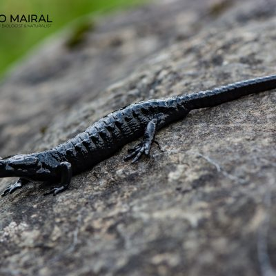 Salamandra atra (Switzerland)