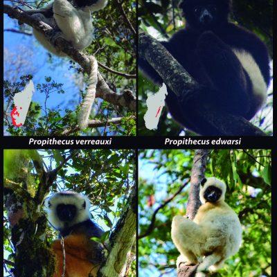 """Sifakas - Propithecus Una familia de primates endémicos de Madagascar que han conseguido colonizar la mayor parte de la isla: desde las lujuriosas pluvisilvas del este hasta el árido bosque espinoso malgache. Existen 9 especies de sifakas del género Propithecus (familia Indridae). Cada una de ellas ocupa un rincón diferente de la isla sin solapar sus territorios, por lo que se les considera un ejemplo clásico de especiación alopátrica en islas. Su nombre se atribuye al inconfundible sonido """"sif-aka"""" que hacen algunas especies al desplazarse."""