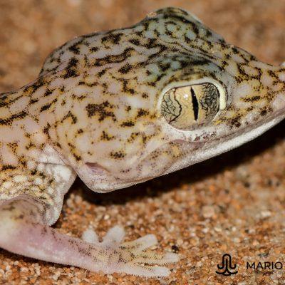 Stenodactylus doriae (United Arab Emirates)