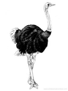 Struthio camelus syriacus, sbsp extinta en Asia Menor