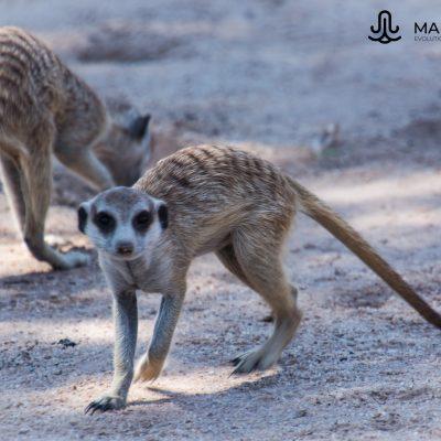 Suricata suricatta (Kalahari, Southern Africa)