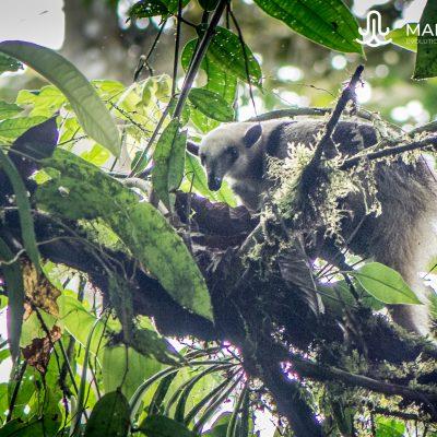 Tamandua mexicana (Ecuador)