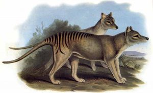 Thylacinus cynocephalus, lobo marsupial, 1933, Nueva Guinea, Australia, Tasmania
