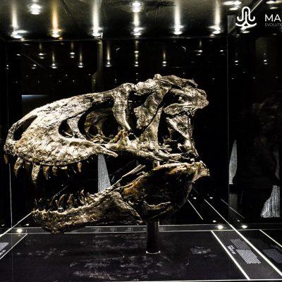 T. rex skull (Natural History Museum)