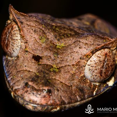 Uroplatus phantasticus (Madagascar)