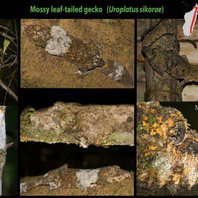 Uroplatus sikorae - mossy leaf-tailed gecko - gecko cola de musgo Increíble gecko endémico de las pluvisilvas malgaches. Este maravilloso gecko es dificilísimo de detectar debido a la perfección absoluta de su camuflaje, mediante el que evita a los depredadores. Pasan la mayor parte del día encaramados a troncos, en posición vertical cabeza abajo. Durante la noche se activan y salen en busca de sus presas.