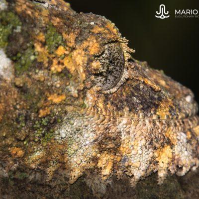 Uroplatus sikorae (Madagascar)