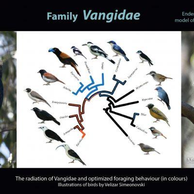 Familia Vangidae. Esta familia podría decirse que es la radiación adaptativa de aves más espectacular del mundo. Compuesta por 15 géneros (21 especies) restringidos a Madagascar y Comores, descienden todos de un único antecesor común que colonizó Madagascar hace 25 millones de años. Una diversidad inusual que destaca en la forma de sus picos: robustos, finos, desgarradores, hinchados, en forma de hoz... Ante este derroche de formas y colores, poco pueden hacer otras radiaciones como los famosos pinzones de las Galápagos.
