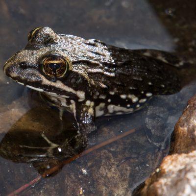Afrana fuscigula - Cape river frog