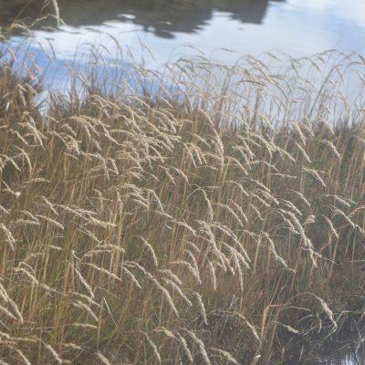 Agrostis magellanica