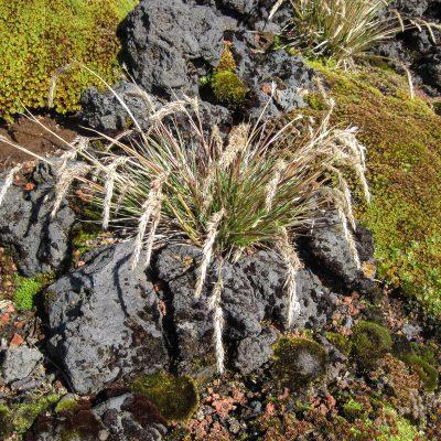 Polypogon magellanicus