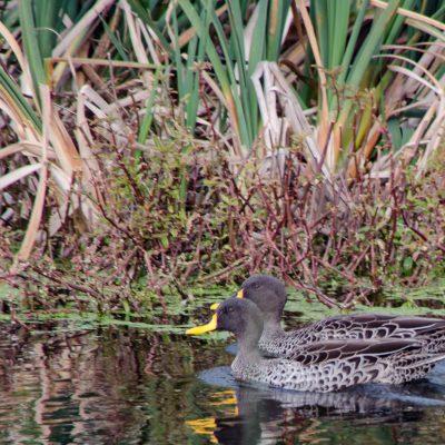 Anas undulata - Yellow-billed duck