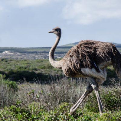 Struthio camelus - Ostrich