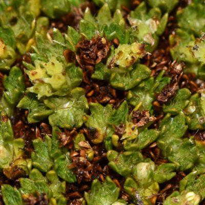 Ranunculus biternatus