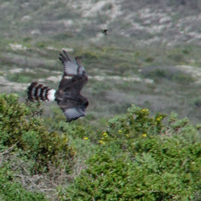 Black harrier (Circus maurus)